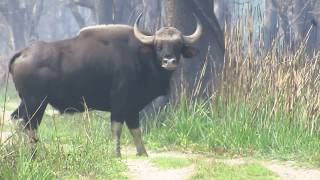 Arna (wild Buffalo) At Chitwan Nepal