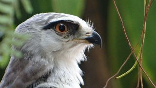 Tập nuôi chim SĂN MỒI (Diều Trắng) - Feeding Black Shoulder