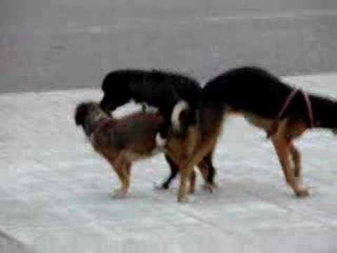 Dogs Stuck Together