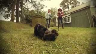 Cesky Terrier pups