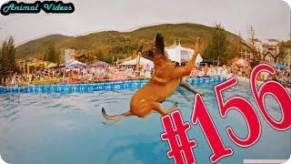 Приколы с животными №156   Собаки ныряют в бассейн  Смешные животные  Animal videos