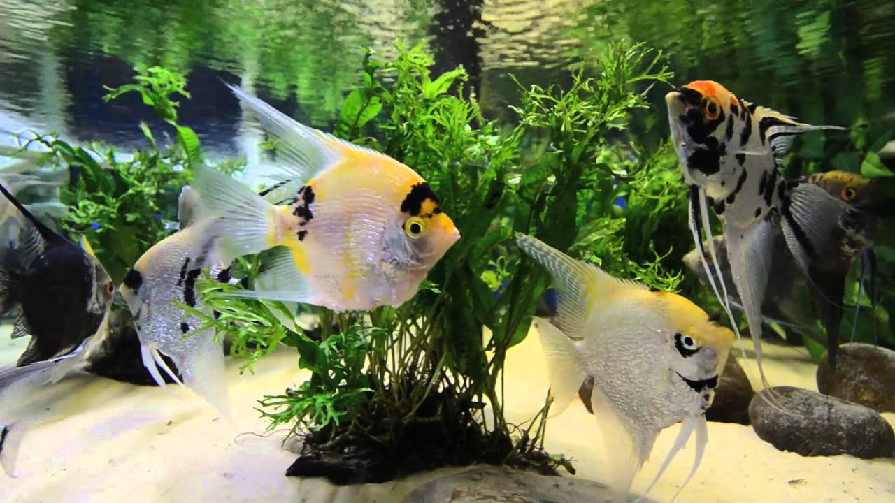 3d Wallpaper Live Fish Angel Aquarium Screen Saver 1080p Hd Youtube