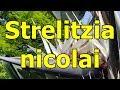 Giant White Bird Of Paradise Strelitzia Nicolai Hd 11  Tembakan(.mp3 .mp4) Mp3 - Mp4 Download