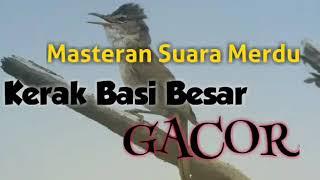 Masteran Suara Merdu Burung Kerak Basi Besar Gacor