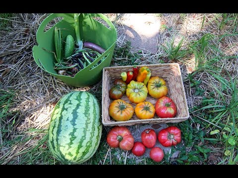 Vegetable Garden Harvest: Tomatoes, Watermelon, Peppers, and More!