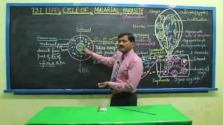 Life cycle of Malarial parasite, Plasmodium Part 2