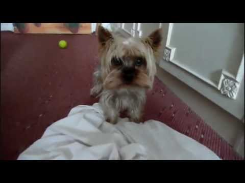 Funny Yorkshire Terrier Compilation