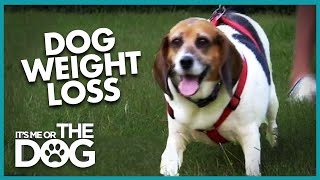 'World's Fattest Beagle' needs to lose weight! | It's Me or the Dog