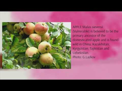 Wild fruits in Central Asia: Local use by farmers and international interest in the application of natural diversity in addressing agricultural problems of disease and weather