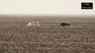 Amaphisi Hunting Greyhound vs Rabbit