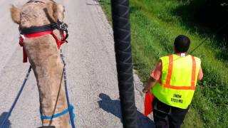 Call 815-600-6464-Animal Rental,Animal Rentals,Chicago Camel Guy 4,Camel Rental,Camel Rides,Chicago