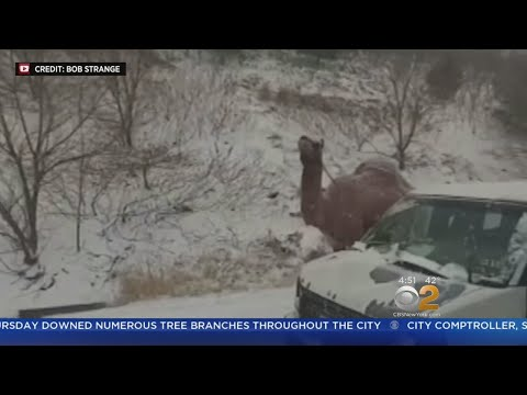 Snowy Camel Spotted In Pennsylvania