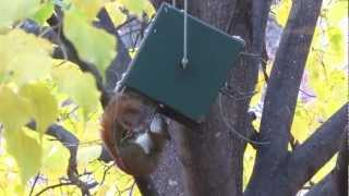 Red Or Pine Squirrel Proof Bird Feeder By Rollerfeeder