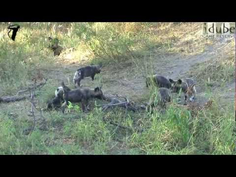 African Painted Wolf Puppies at their Den