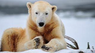 Животные Арктики первые ощутили на себе влияние глобального потепления (новости)