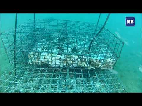 Underwater nurseries help revive Mediterranean fish stocks