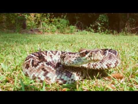 Eastern Diamondback Rattlesnake bites camera, slow-motion, 1/2 natural speed