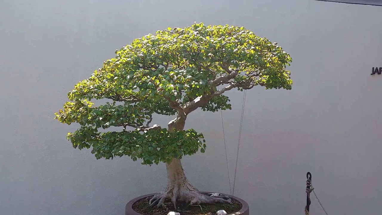 Trident Maple Bonsai Tree At The United States National Arboretum Washington Dc Youtube