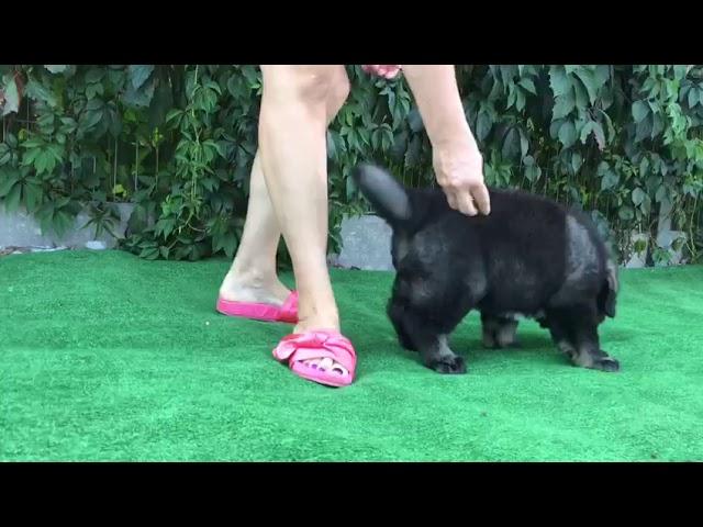 Female Caucasian Shepherd #1 for sale (litter #2) video2