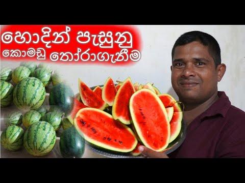 හොදින් පැසුනු කොමඩු ගෙඩියක් තෝරාගැනීම Choosing a well-ripened watermelon ගෙවතු වගාව කාබනික komadu