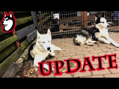 The Husky Family | Update - Females In Heat And Doty is Being Naughty