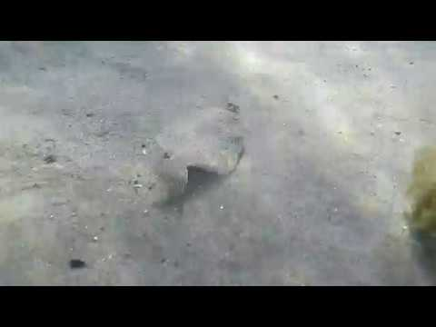 Small flat fish following spear tip, Guernsey spearfishing (watch in HD)
