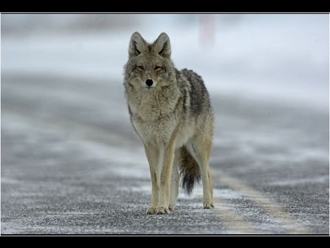 Man Runs From Coyote! @Yellowstone!