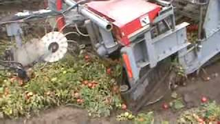Pik Rite 190 harvesting tomatoes in muddy conditions.