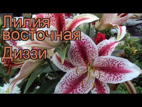 Лилия восточная Диззи (lilium oriental dizzy) 🌿 лилия Диззи обзор: как сажать луковицы лилии Диззи