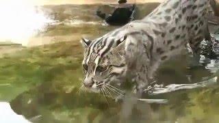 Камышовый кот рыбачит!Видео с кошками!