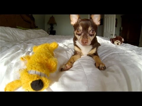 Chihuahua Epic Battle - with Slow Motion GoPro 120fps