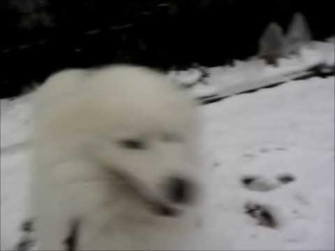 サモエド クローカ 「雪だ!ワホ~♪」 (samoyed kloka)