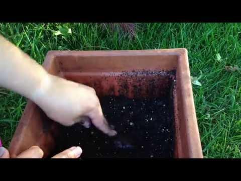 Jardinería: Sembrando Semilla de Mamey Sapote | Parte 1