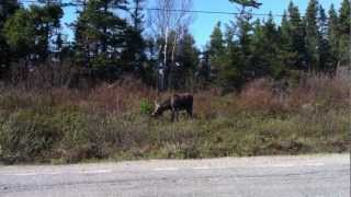 Moose feeding on the side of the road.