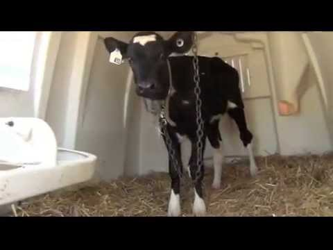 Baby Calves in veal crates - YouTube