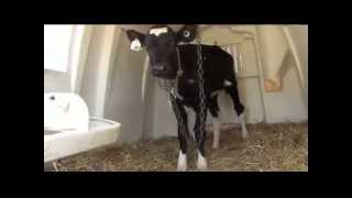 Baby Calves in veal crates