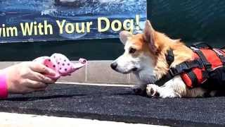 5 Month Old Puppy Pembroke Welsh Corgi Watson Plays With Squeaky Pink Elephant Poolside   6515
