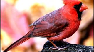 Gambar cover cardinal bird sound effects - efek suara burung kenari