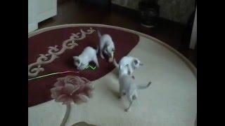 Тайские котята продажа