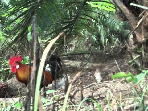 1) Ayam Hutan Jerantut  4
