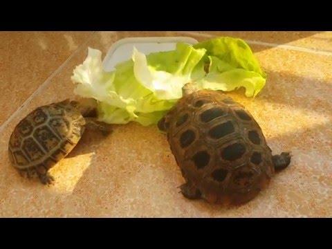 Elongated tortoise baby