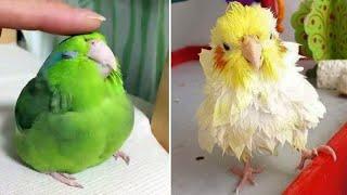 Baby Animals  Funny Parrots and Cute Birds Compilation (2021) Loros Adorables Recopilación #43