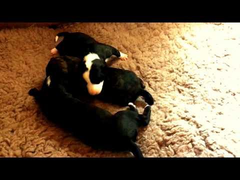 Galgo puppies 12 days