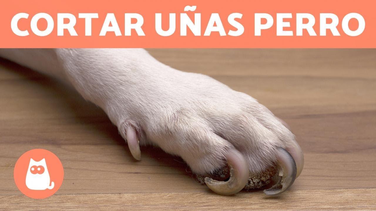 video sobre cómo curar la prostatitis del perro