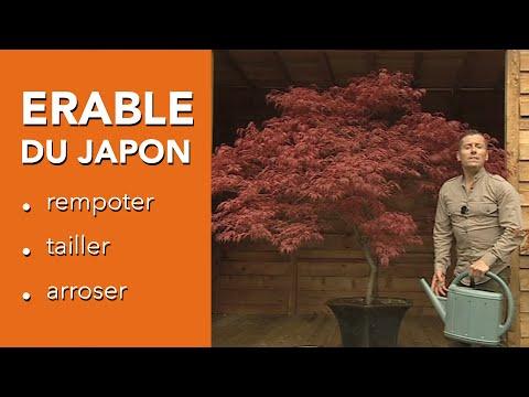 Comment cultiver un ERABLE DU JAPON ? - ACER PALMATUM - Chroniqueur jardin Franck PROST