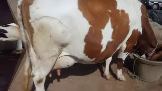 COWS (15 TO 25 LITRES)FOR SALE IN KERALA - WWW.MURUGANDAIRYFARM.COM