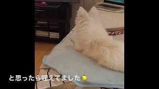 Japanesespitz Lemon  <わさおに吠える> わたちレモン   白もふ犬 も...