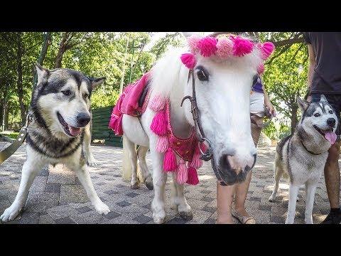 VLOG: Весёлая прогулка хаски и маламута | Лошадь пони | Команды | Покупаем корм для собак