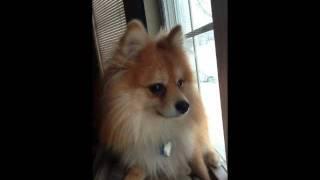 Sunny The Pomeranian Barking
