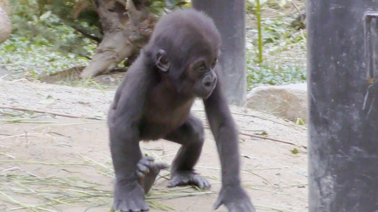 ママから離れて自由行動💗ゴリラのキンタロウ【京都市動物園】